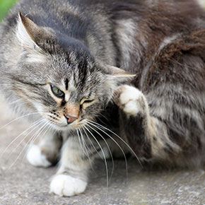 Why flea treatment for your cat is so important