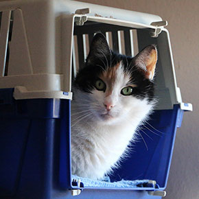 Overcoming your cat's resistance to its carrier