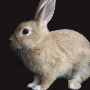 Safeguard your rabbit with a microchip