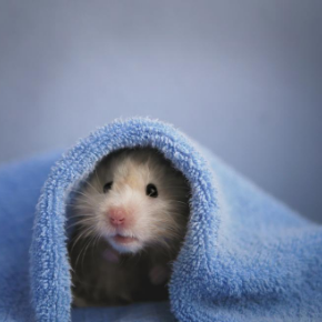 Advice from Bayswater Veterinary Clinic on whether your small furry pet will hibernate.