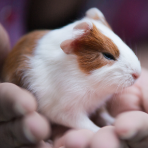 Advice on guinea pig breeding from Bayswater Veterinary Clinic